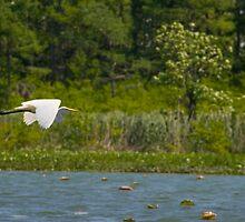Egret in Flight by steini