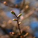 Buds by Catherine Davis