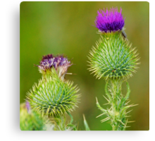 Scottish Thistle 1 Canvas Print