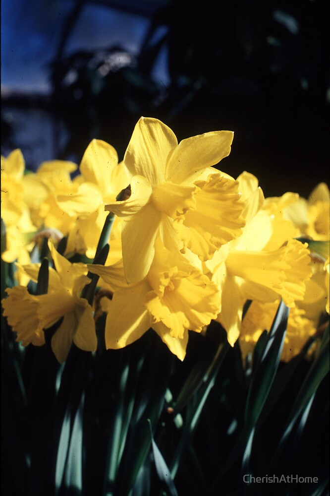 Daffodils by CherishAtHome