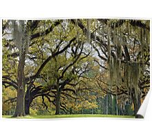 Oaks of St. Francisville Poster