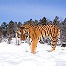 Siberian Tiger 10 by mrshutterbug