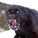 Black Panther by mrshutterbug