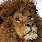 Lion King by mrshutterbug