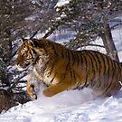 Siberian Tiger 4 by mrshutterbug