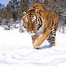 Siberian Tiger 6 by mrshutterbug