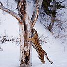 Siberian Tiger 7 by mrshutterbug