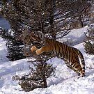 Siberian Tiger 8 by mrshutterbug