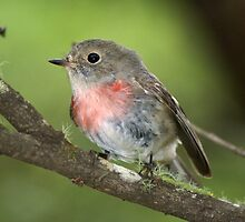 Rose Robin (sub-adult male) by David Cook