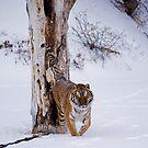 Siberian Tiger 9 by mrshutterbug