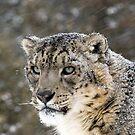 Snow Leopard 1 by mrshutterbug