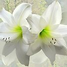 White amaryllis by bubblehex08