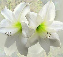 White amaryllis by bubblehex08