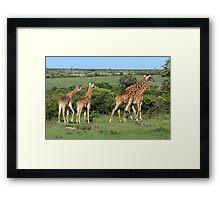 Masai Mara Giraffe Family  Framed Print