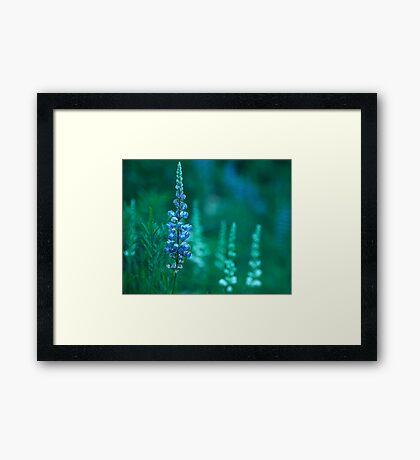 Lupin 2 Framed Print