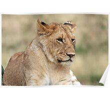 Lioness - Masai Mara - Kenya Poster