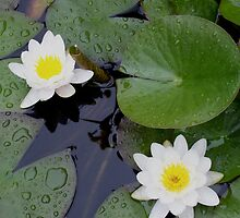 lily pads   by melynda blosser