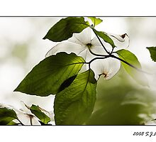 Dogwood by sjluke