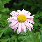 i think this is some type of daisy by delobbo