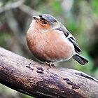 British Garden Birds by Malcolm Chant