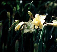 Daffodils 3 by CherishAtHome