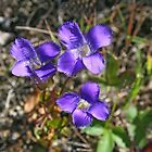 Purple Fringed Gentian by Vickie Emms