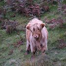 Calf in The Trossachs National Park by Ian McKenzie