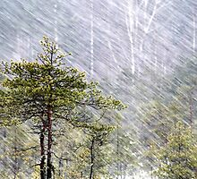 8.1.2015: Pine Tree, Snowfall I by Petri Volanen