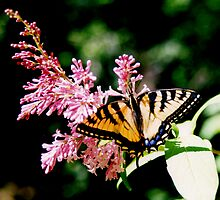 Tiger Swallowtail by Asoka