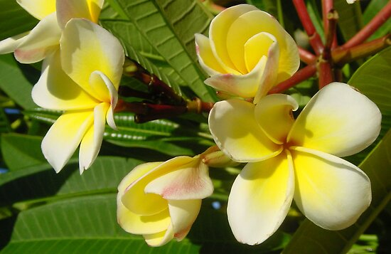 White Frangipani by Bronwyn Houston