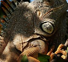 portrait of an iguana IV - retrato de iguana by Bernhard Matejka