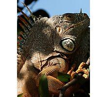 portrait of an iguana IV - retrato de iguana Photographic Print