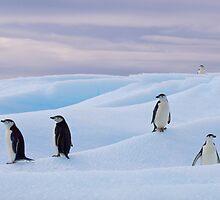 Chinstrap Penguins. by Simon Coates