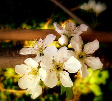 Spring Blossoms  by Kate Towers IPA