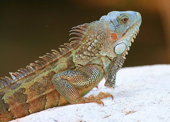Blue Head Iguana by Larissa Brea