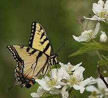 Tiger Swallowtail 2 by Gregg Williams
