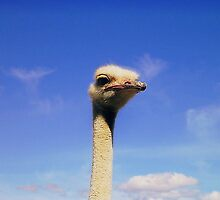 Ostrich Head  by HelenBanham