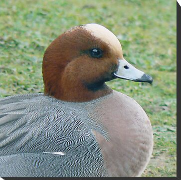 A Widgeon by AARDVARK