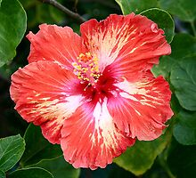 Varigated Orange Hibiscus by Lawrie Beales