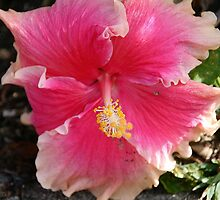 Unusual Pink Hibiscus by Lawrie Beales