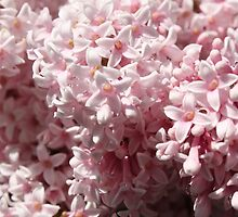 Pink Lilacs by AngelaBishop