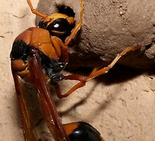 Mud Dauber by wildrider58