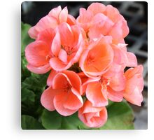 Peach Geraniums Canvas Print