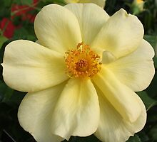 Soft Yellow Rose by AngelaBishop