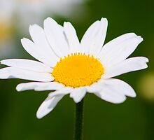 Daisy by jdmphotography