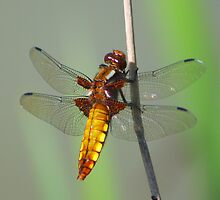 Dragon Fly by jdmphotography