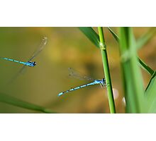 Sneaking up ! (Blue Damsel) Photographic Print