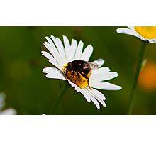 Pollinated Photographic Print