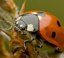 Ladybug by Remus