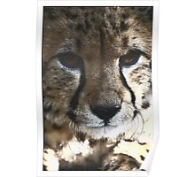 Cheetah 1 Poster